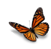 monarch-butterfly1